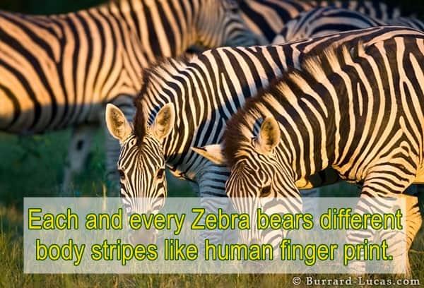 zebras habitat