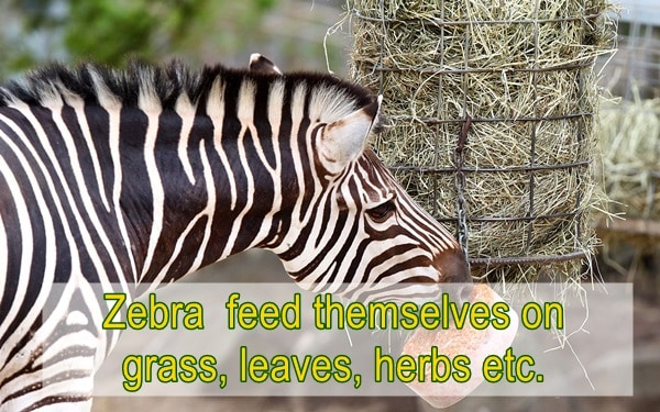 amazing facts about zebras (2)