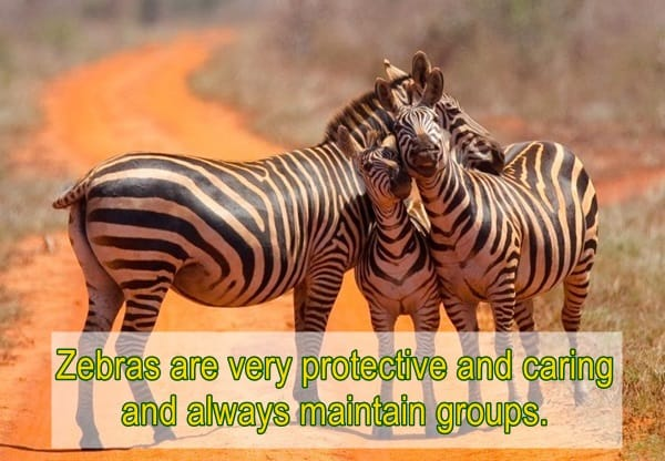 amazing facts about zebras (3)