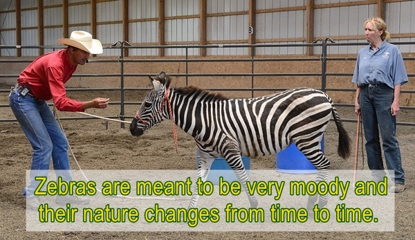 amazing facts about zebras (4)
