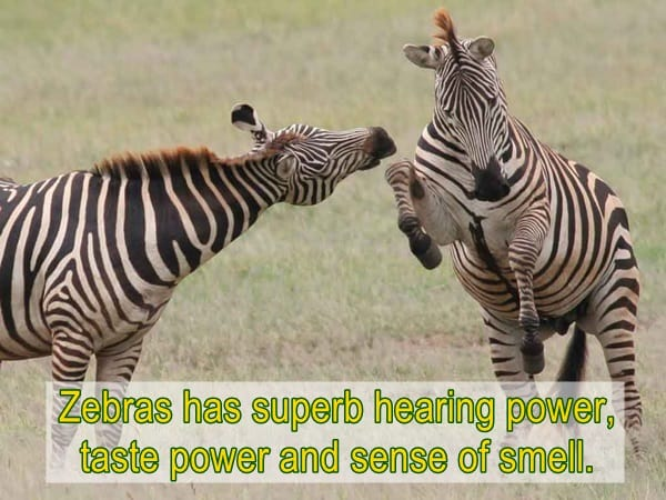 amazing facts about zebras (5)