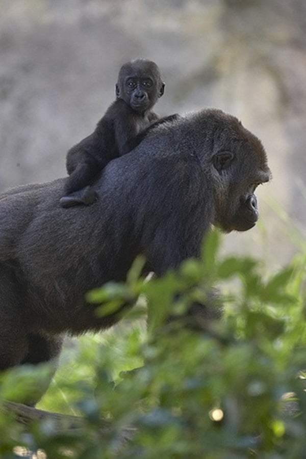 animals carrying their baby (1)