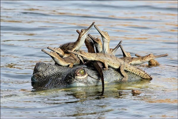 animals carrying their baby (10)