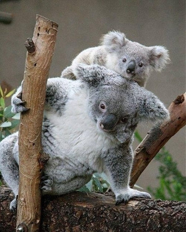 animals carrying their baby (16)