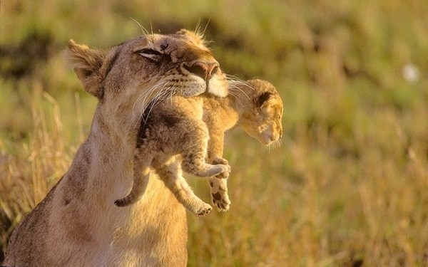 animals carrying their baby (17)