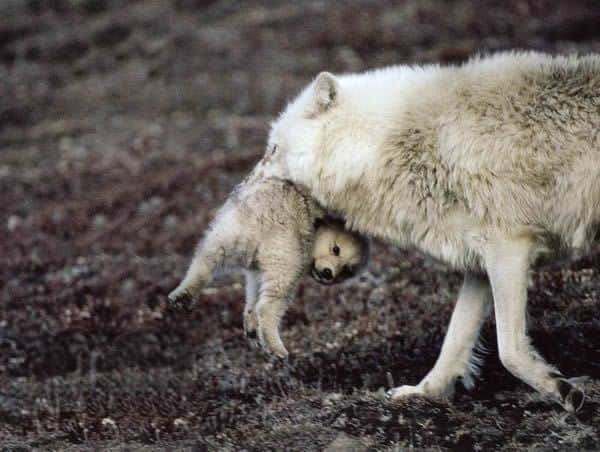 Pictures Of Animals Carrying Their Baby