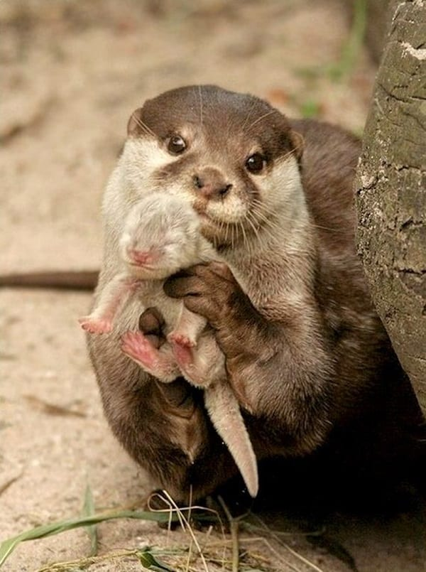 animals carrying their baby (33)