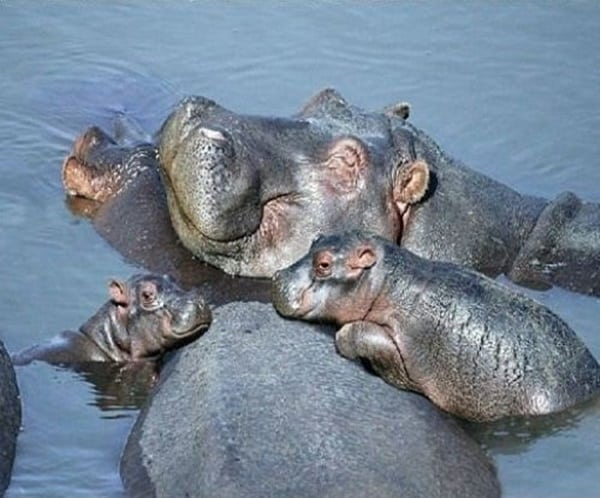 animals carrying their baby (4)