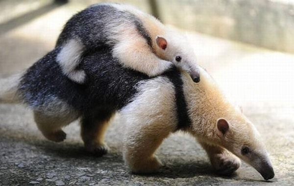 animals carrying their baby (7)