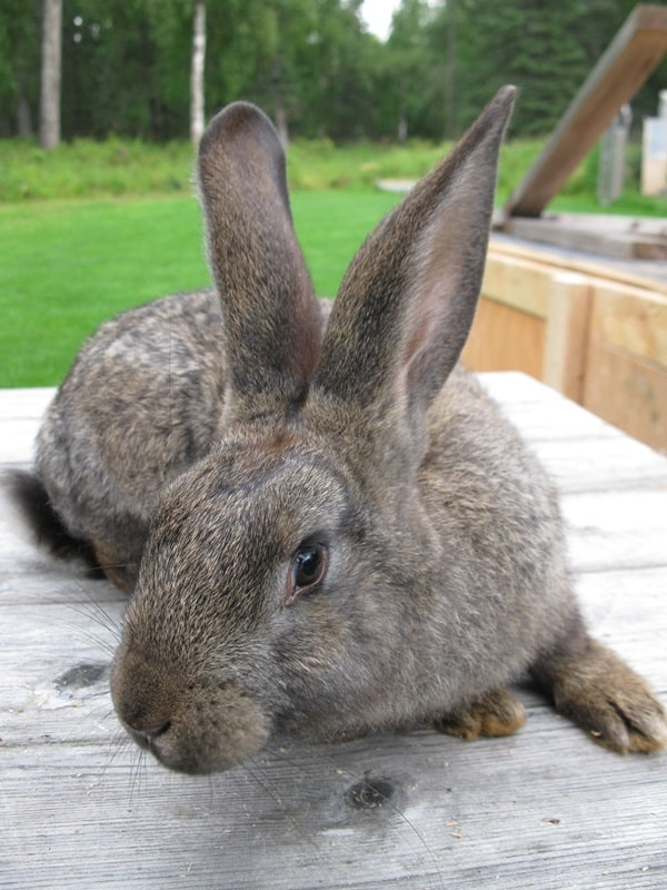 Causes of sudden death in rabbits10