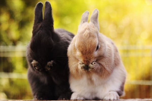 Causes of sudden death in rabbits1