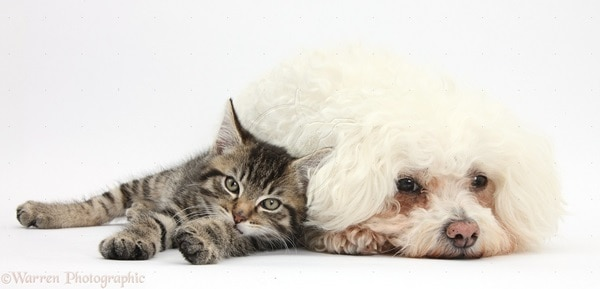 Dog Breeds That Like Cats (4)