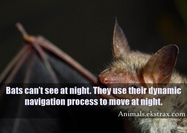 A greater mouse-eared bat is pictured on