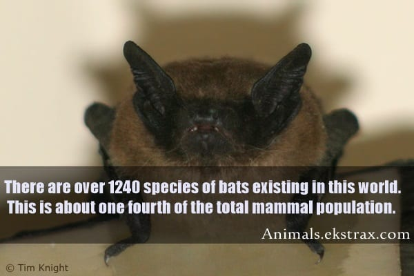 It Is Often Said That Vampire Bats S Blood From Animals But A Myth Feed Themselves With Never