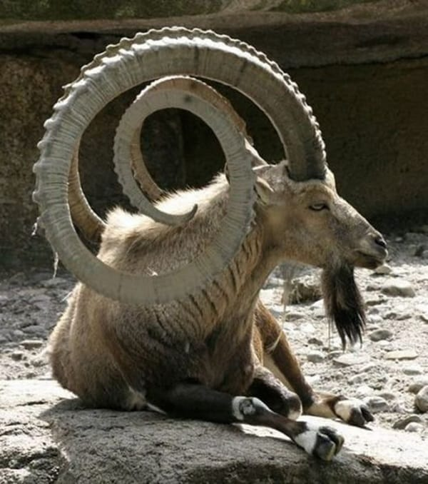 animals with horns (1)