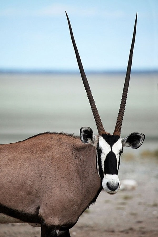 animals with horns (11)