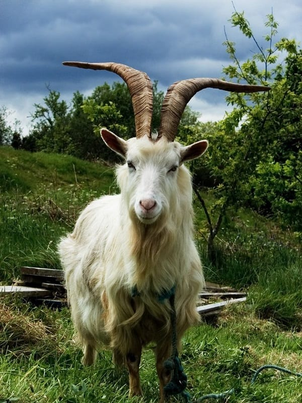 animals with horns (15)