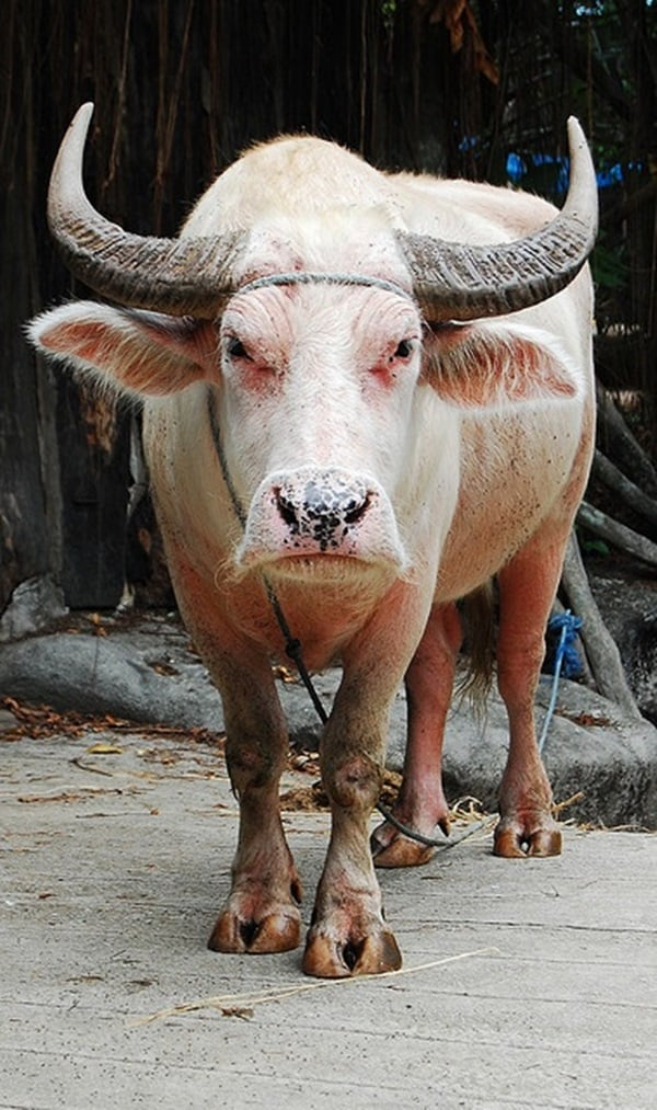 animals with horns (2)