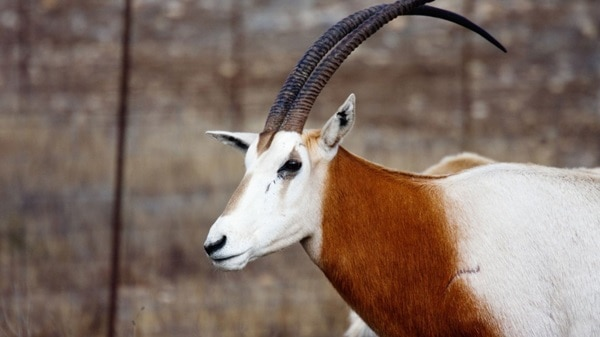 animals with horns (24)