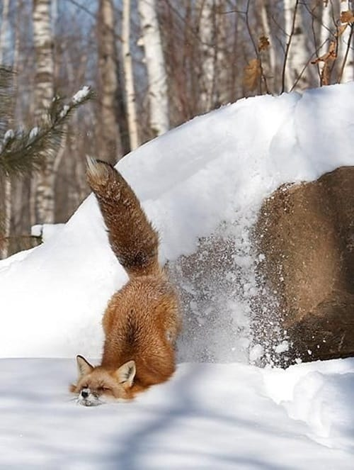 Pictures of Animals Playing with Snow (3)