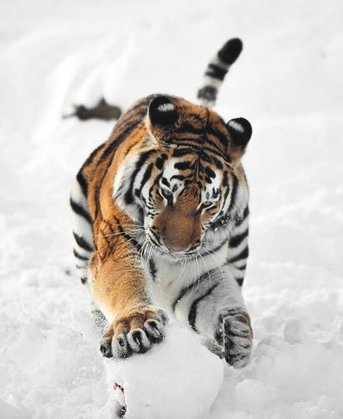 Pictures of Animals Playing with Snow (9)