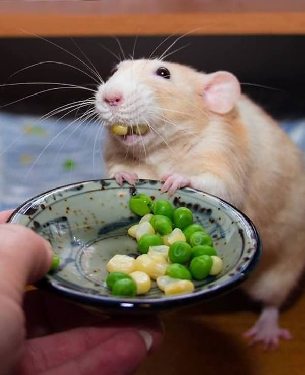 Pictures of Animals Stuffing Food into Their Mouth (11)