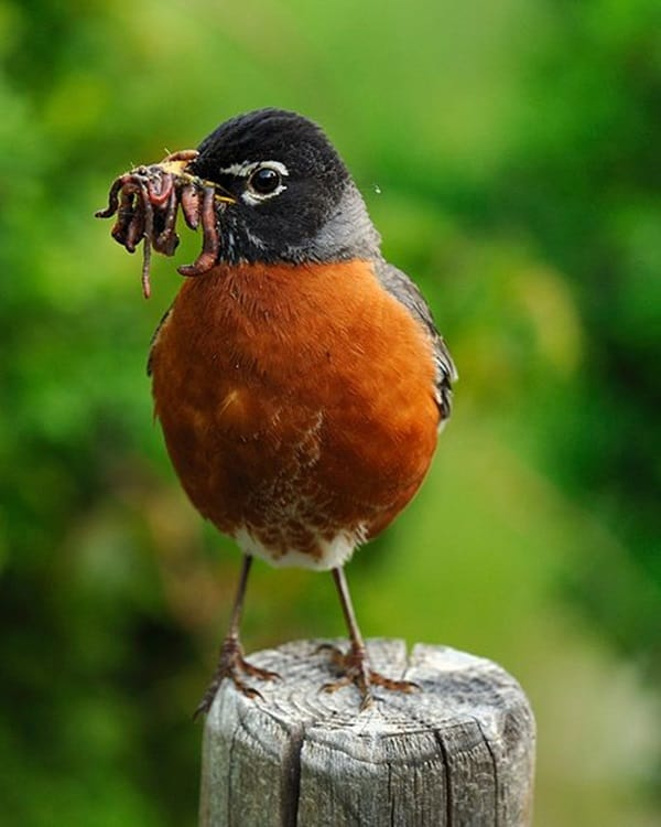 Pictures of Animals Stuffing Food into Their Mouth (19)