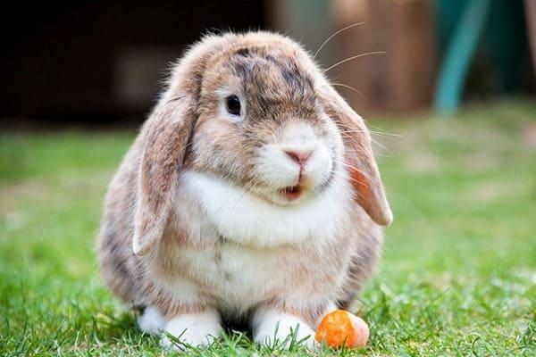sudden-death-in-rabbits-2