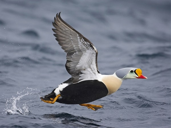 king eider, kyhmyhaahka Norway