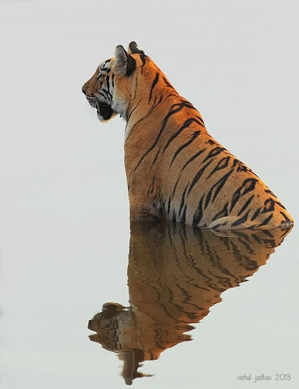 beautiful pictures of animals and their reflection (16)