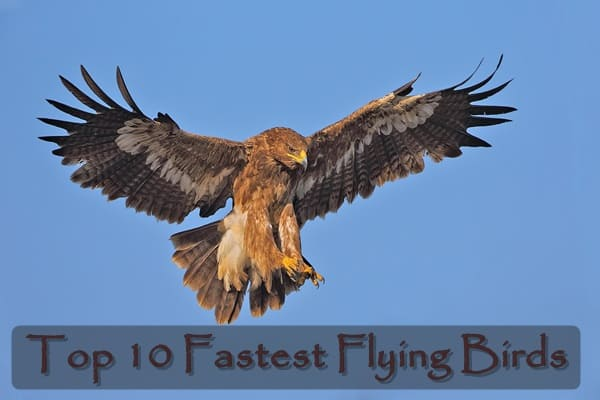 Top 10 Fastest Flying Birds In The World