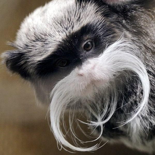 animals with mustache (15)