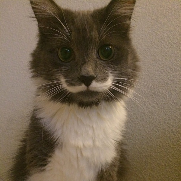 animals with mustache (9)