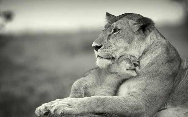 mother animals saving their child (11)