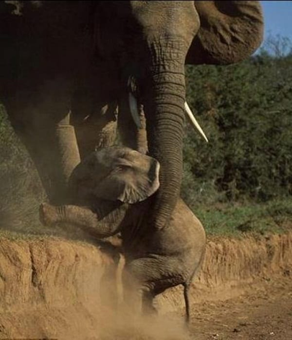 mother animals saving their child (19)