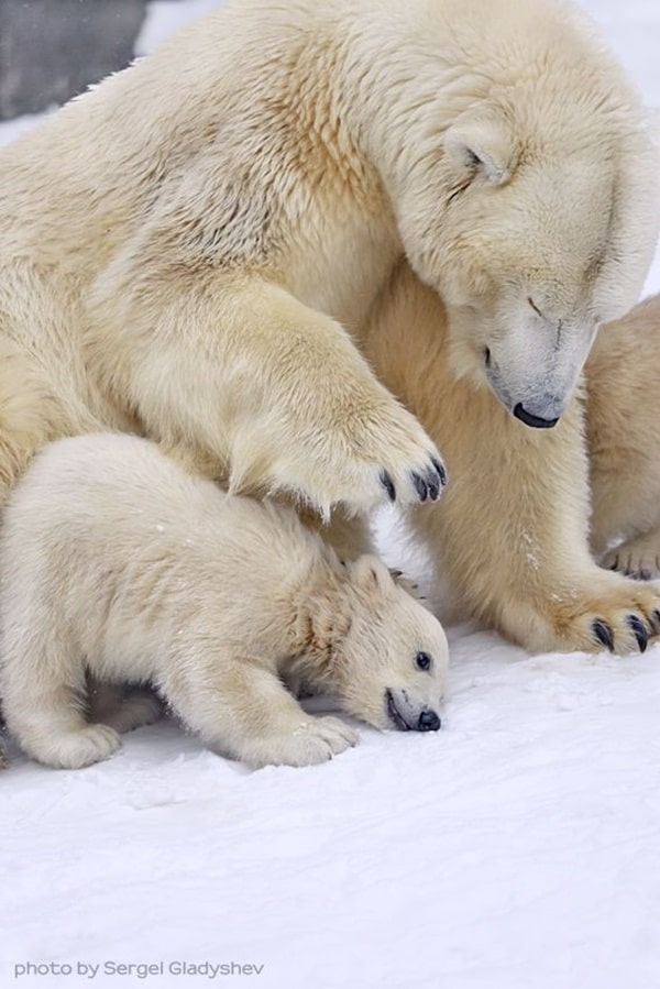 mother animals saving their child (5)