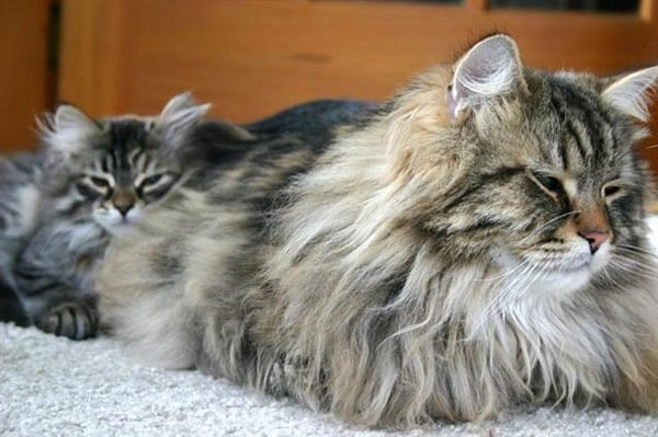 11 Long Haired Cat Breeds