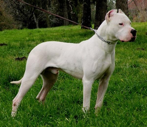 10 Strongest Dog Breeds1