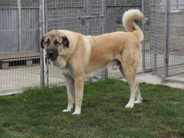 10 Strongest Dog Breeds4