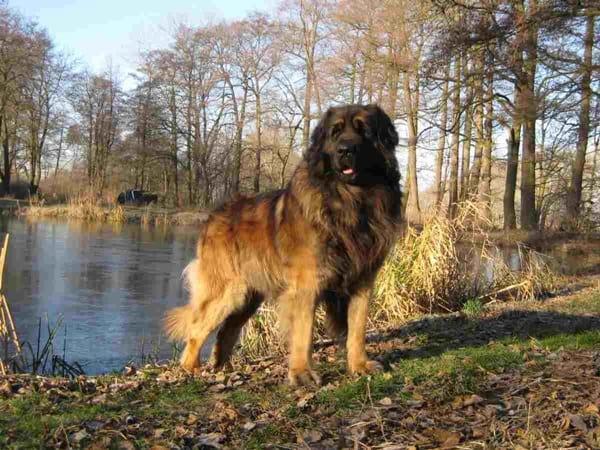 10 Strongest Dog Breeds9