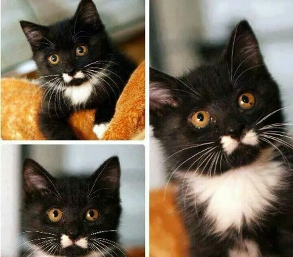 Funny Pictures Of Animals With Mustaches (5)