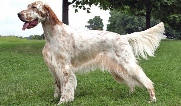 long-haired-dog-breeds-1