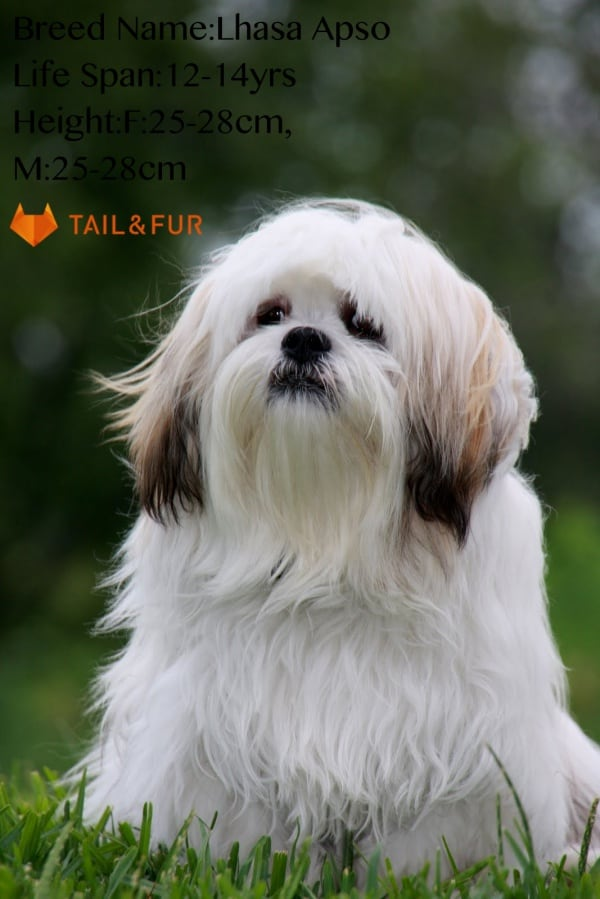 Long-Haired-Dog-Breeds