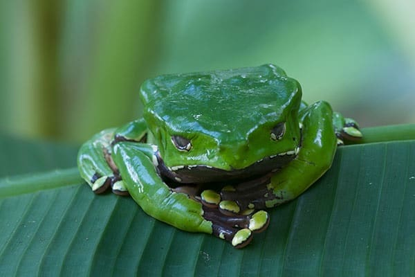 Most poisonous Frogs in the world1