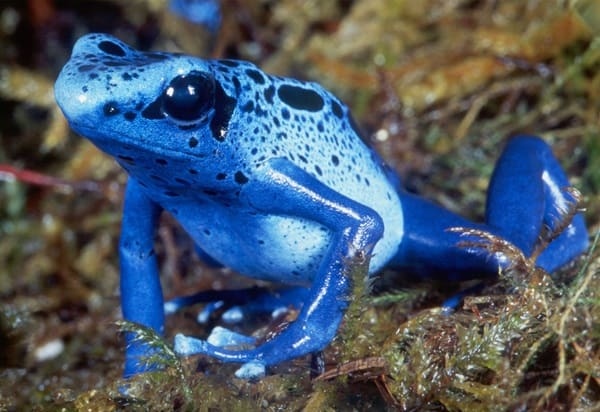 Most poisonous Frogs in the world10