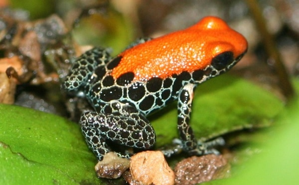 Most poisonous Frogs in the world2