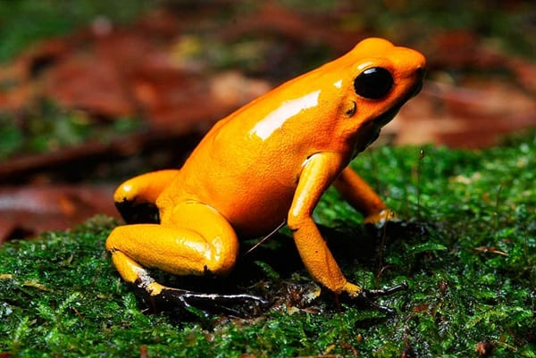 Most poisonous Frogs in the world4