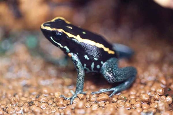 Most poisonous Frogs in the world7