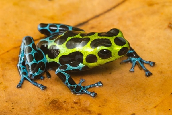 Most poisonous Frogs in the world8