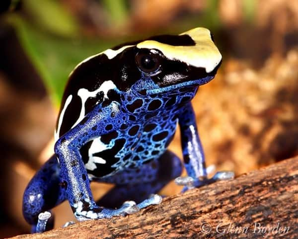 Most poisonous Frogs in the world9